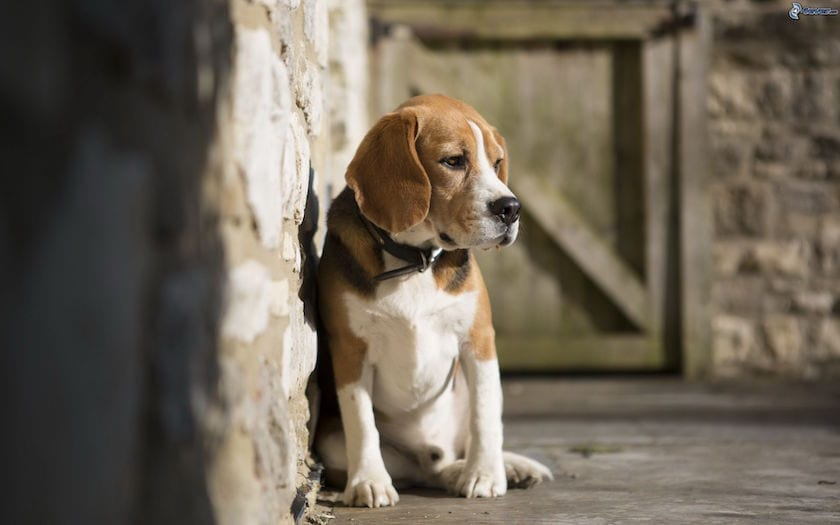 Perro beagle triste