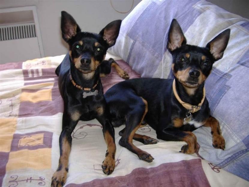 Perros de la raza ratero mallorquín