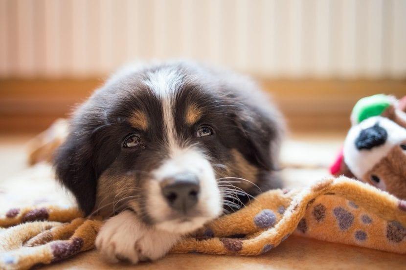 Cuida a tu cachorro para que no tenga lombrices