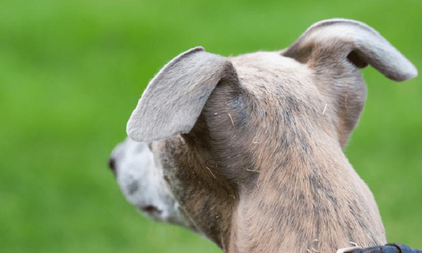 A los perros les encanta rascarse
