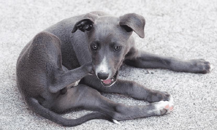 Las pulgas son suficientes para irritar la piel de tu perro