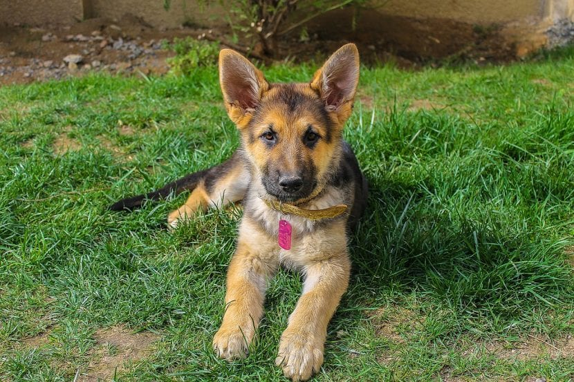 Joven perro pastor alemán