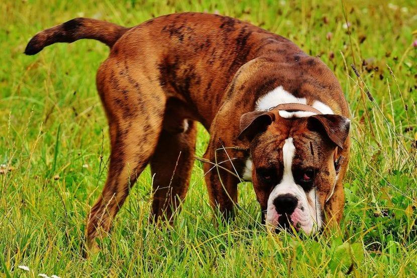 Perro de la raza bóxer