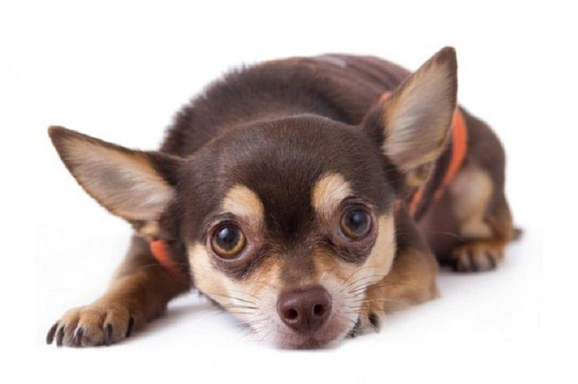 Un perro tembloroso causa una gran preocupación