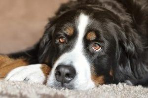 Perro tumbado sobre una alfombra