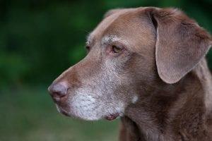 Los perros viejos tienen canas
