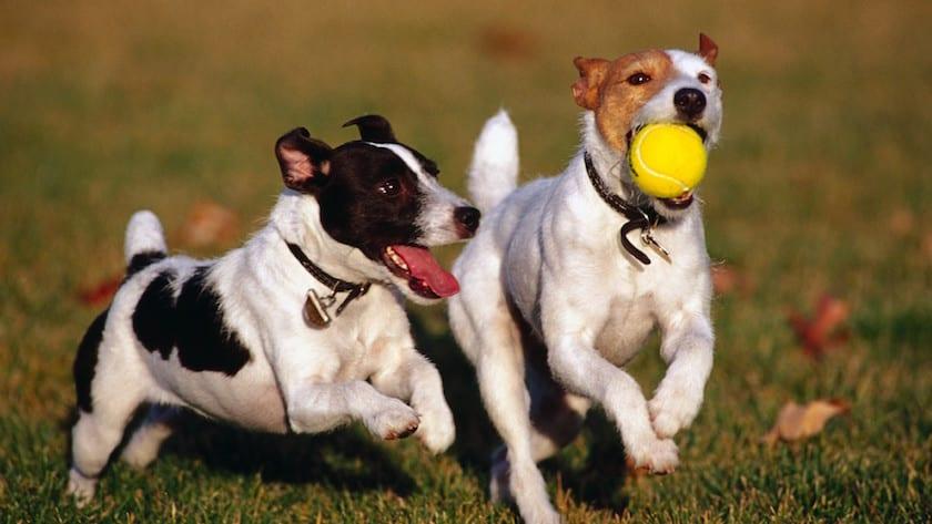 Perros jugando con la pelota