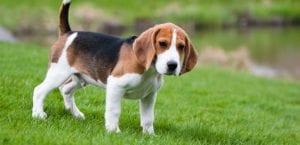 Beagle en el campo.