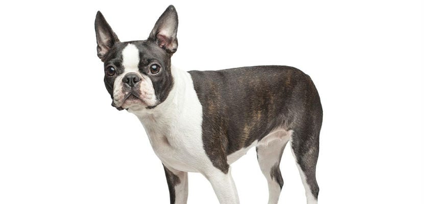 Boston terrier adulto.