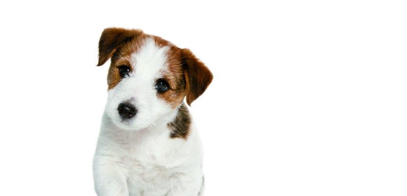 Cachorro de Jack Russell Terrier.