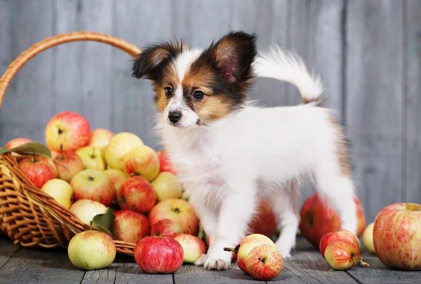 Forma recomendada para dar una manzana a tu perro