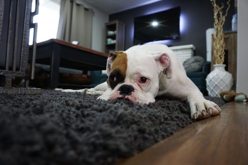 Bulldog tumbado en una alfombra