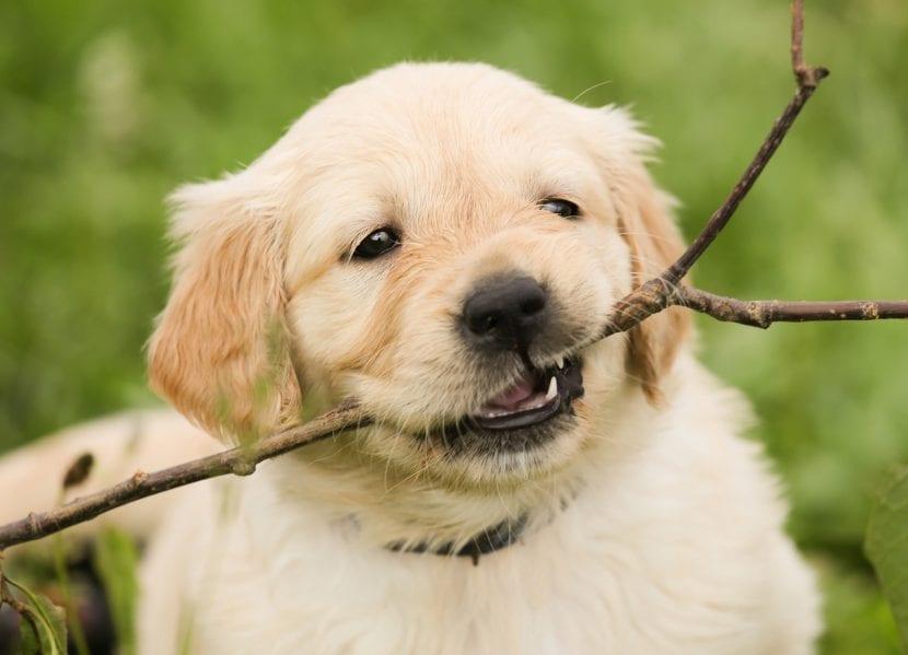Cachorro mordiendo una rama
