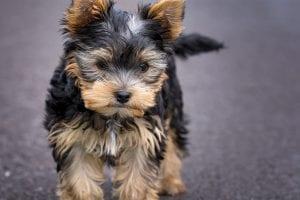 Precioso cachorro de Yorkshire