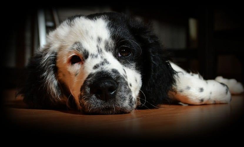 azucar para curar heridas en perros