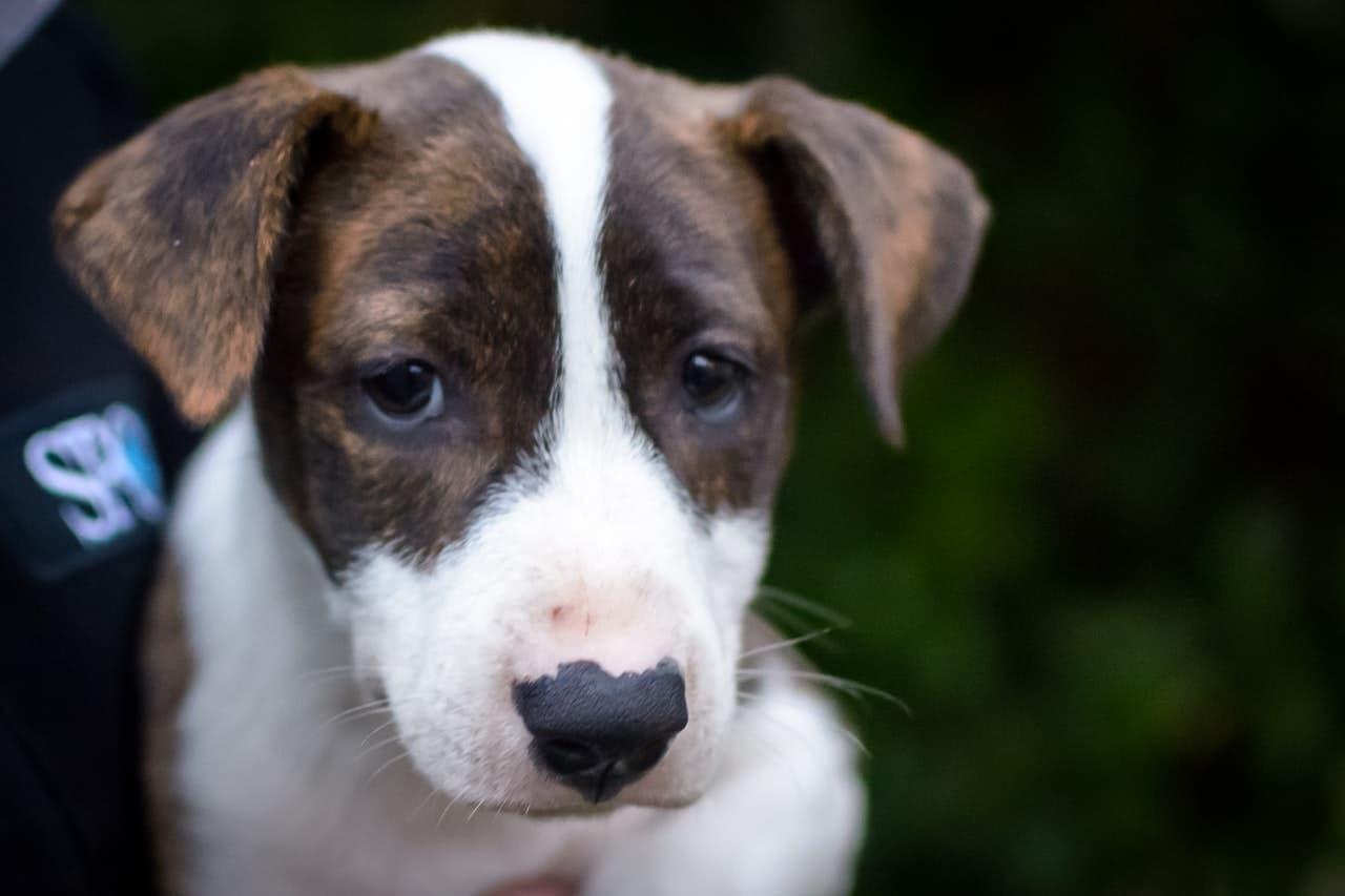 El cachorro puede sentirse triste si echa de menos a alguien
