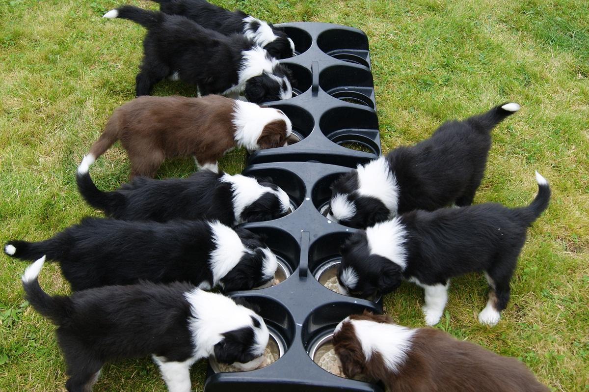 Los cachorros deben comer pienso para ellos