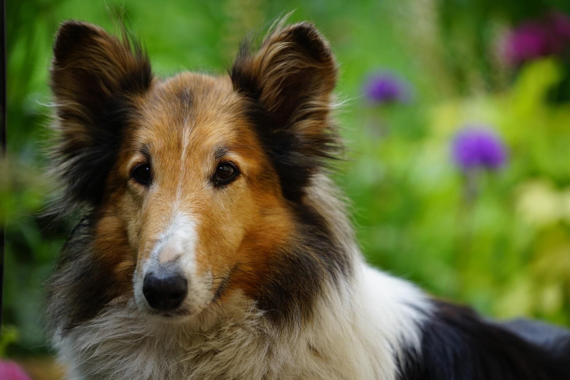 Los perros pueden tener las patas inflamadas