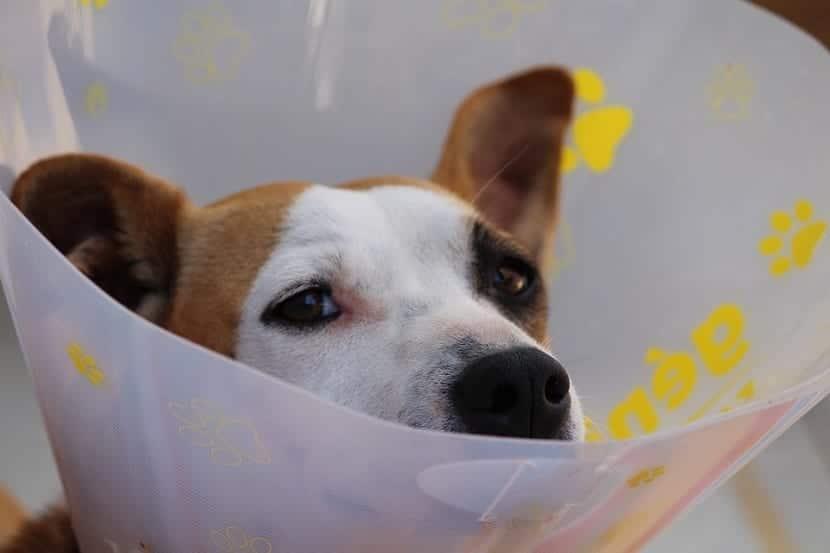 Curar las heridas de un perro utilizando azucar
