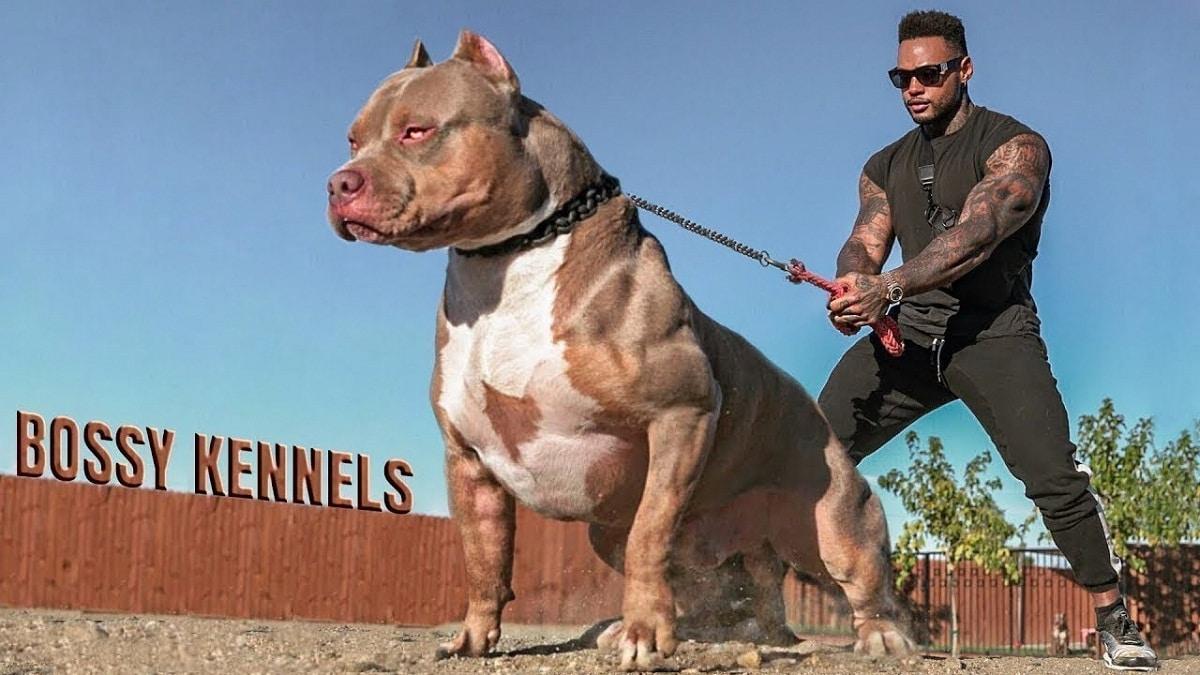 Los pitbull son perros poderosos