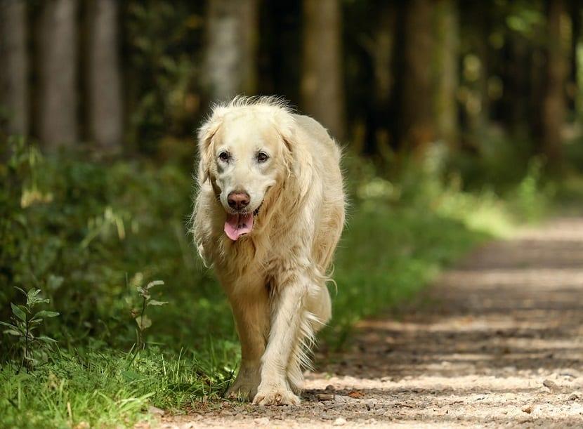 caracter perro labrador