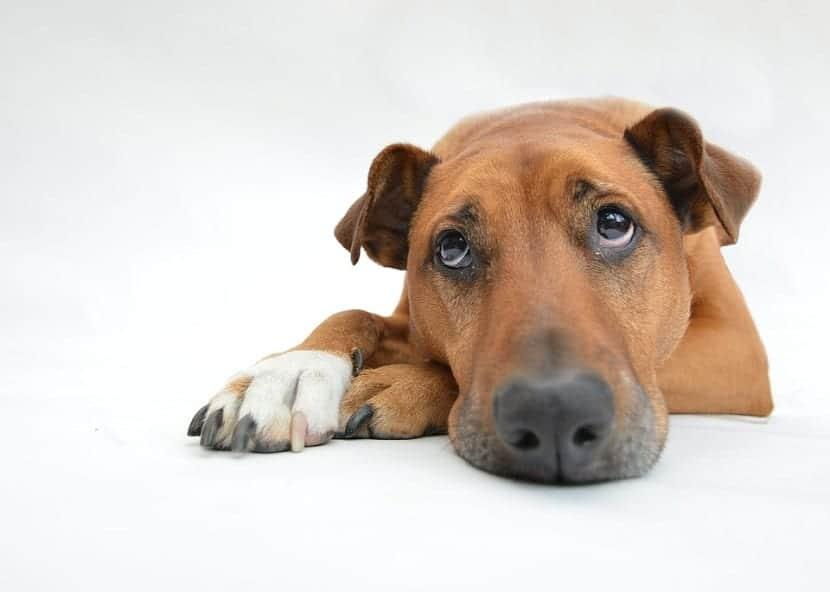 Cuidados en una perra recién castrada