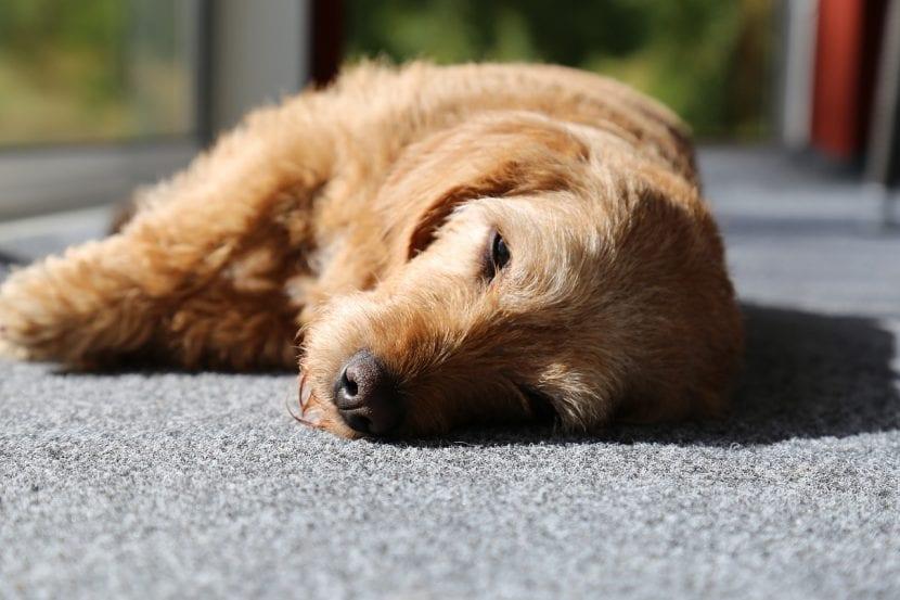 Asegúrate de que tu perro descansa lo suficiente