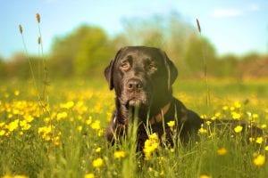 La alergia al polen es una enfermedad que pueden tener los perros