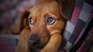 Los cólicos en los perros son dolorosos