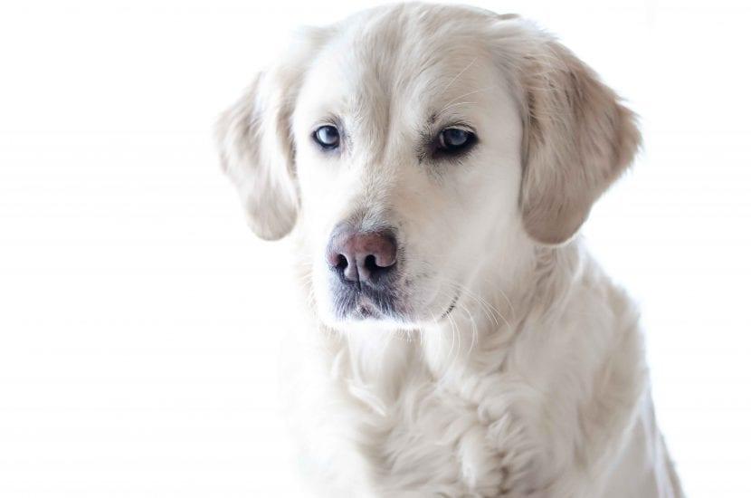 Perro labrador
