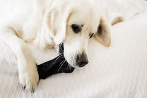 Si tu perro come un calcetín, ten paciencia
