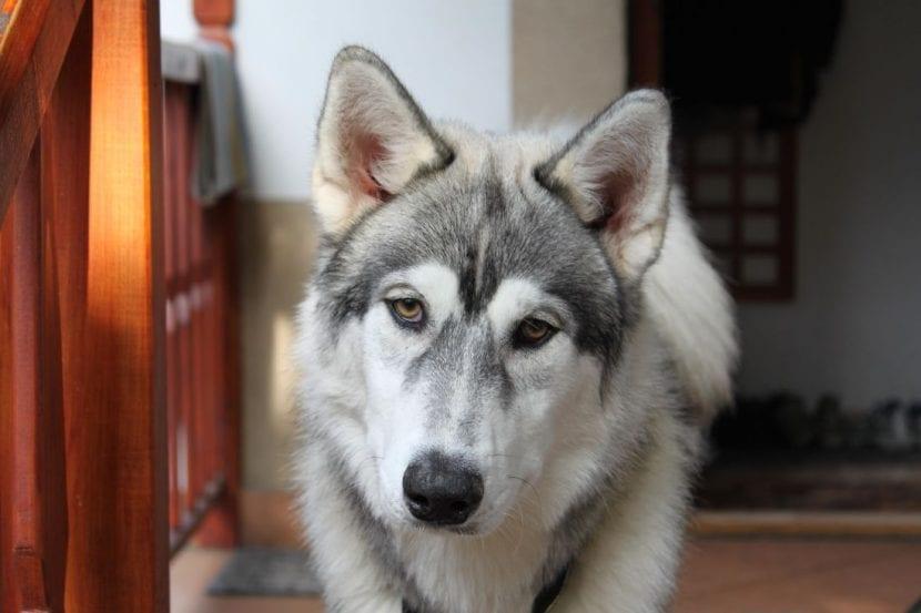 Mantén la calma si tu perro se ha tragado un calcetín