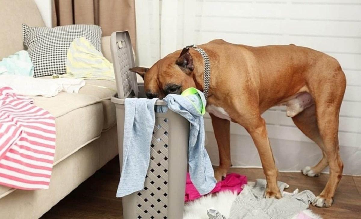 Los perros que se comen calcetines pueden necesitar ayuda