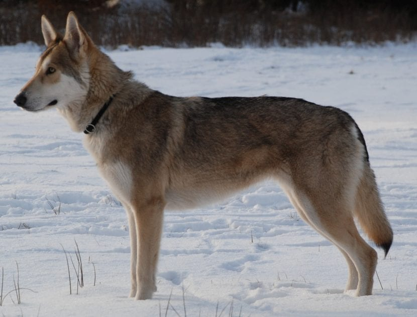 El Tamaskan es una raza de perro muy noble