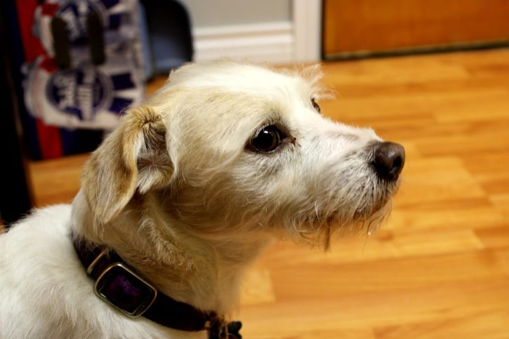 Perro de la raza Terrier