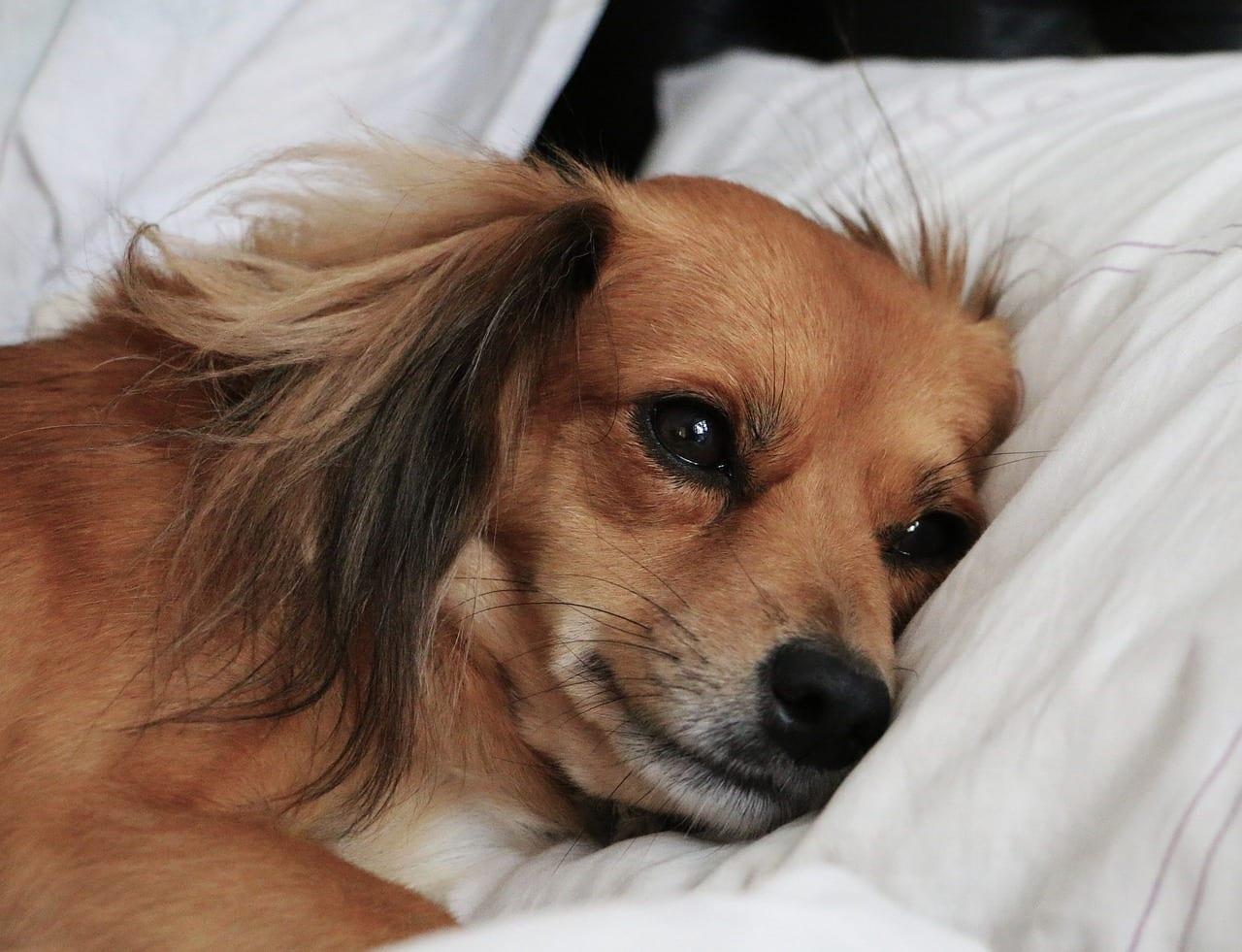 Perro triste en la cama