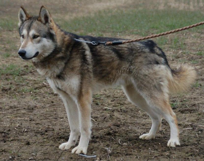 El Tamaskan es un perro muy parecido al Alaskan Malamute