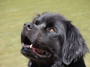 Mirada del perro terranova