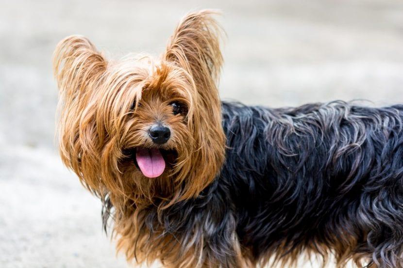 Ejemplar adulto de Yorkshire terrier