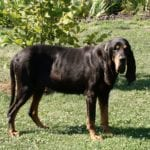 Ejemplar adulto de la raza Black an Tan Coonhound
