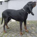 Ejemplar de Black and Tan Coonhound