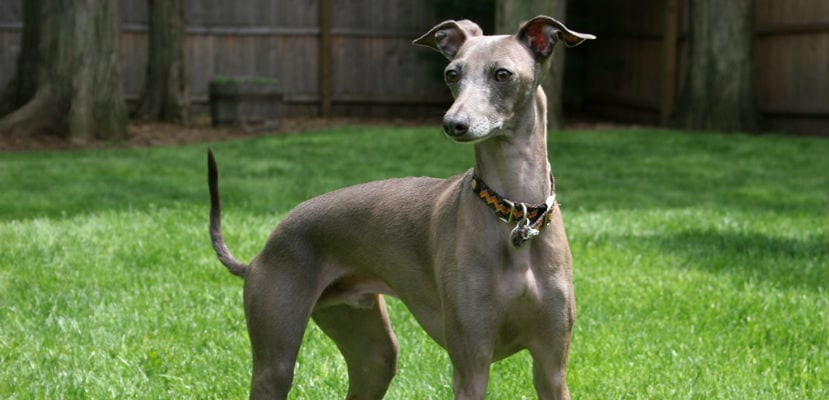 Greyhound o galgo inglés adulto.