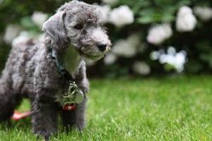 elegir un perro hipoalergenico