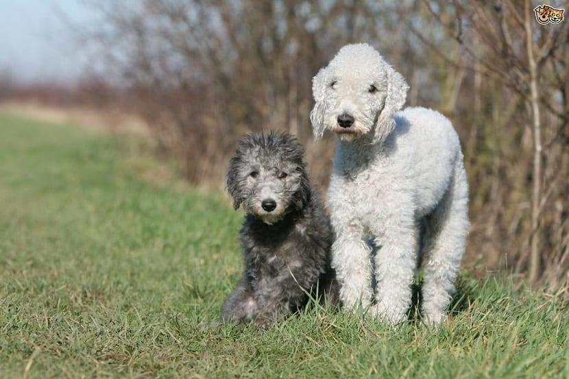 Raza de perro Terrier Bedlington