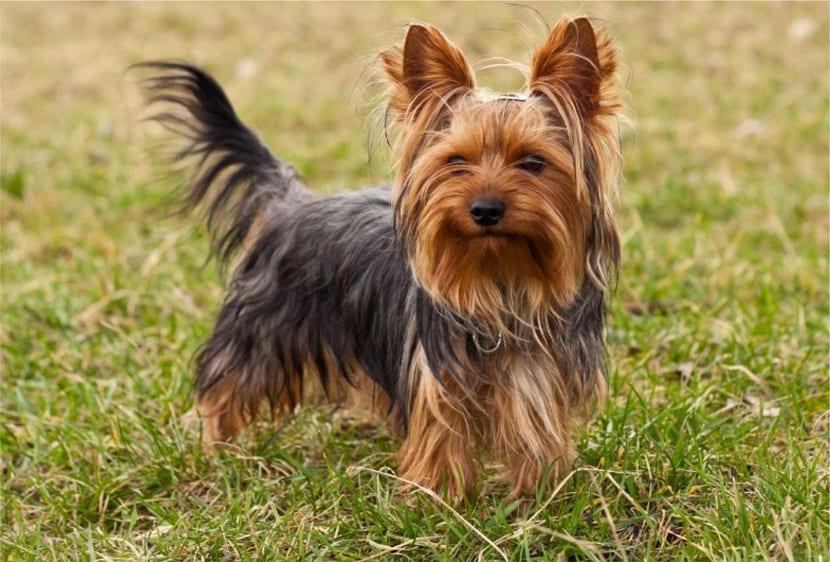 Raza de perro Terrier de Yorkshire