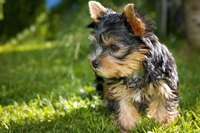Qué es una raza de perro hipoalergénica