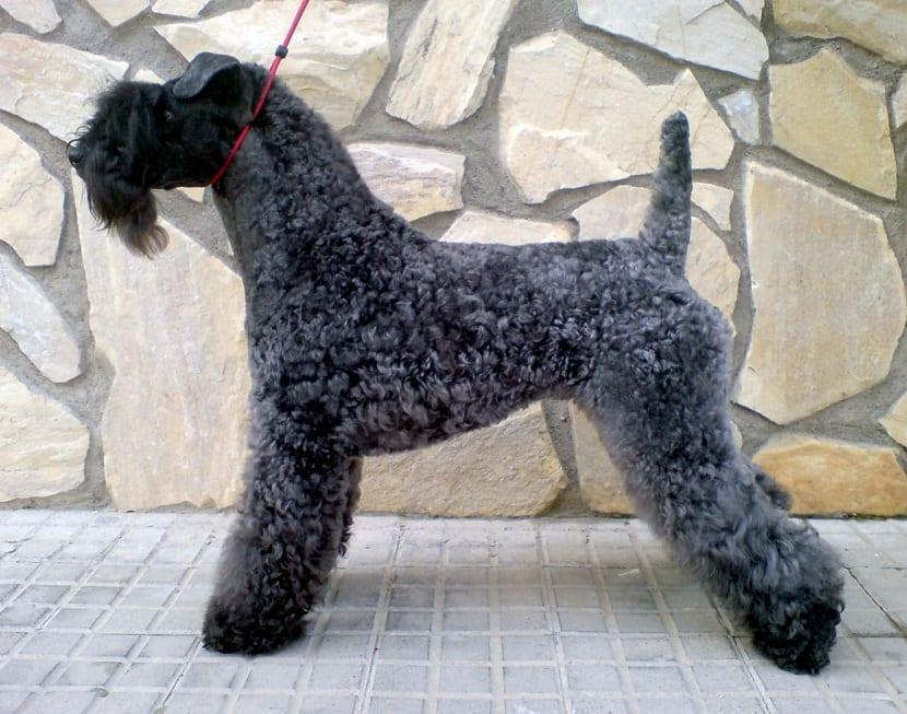 Raza de perro Terrier irlandes con pelo suave
