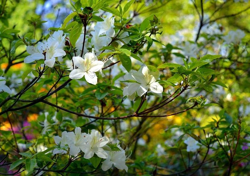 unas pocas hojas de Azaleas puede causar irritación oral con vómitos