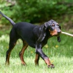 Juega con tu Black and Tan Coonhound para que se mantenga en forma.