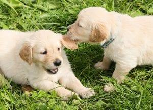 Los cachorros juegan mucho a partir de los dos meses